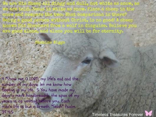 sheep77